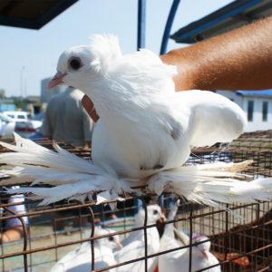 Ярмарка голубей и декоративной птицы